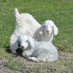 Angora Goats and Kids for sale